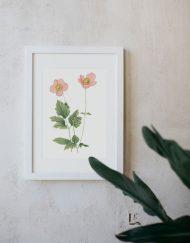 Ilustracion-acuarela-botanica-campestre-enmarcada-blanco-Anemone-hupehensis