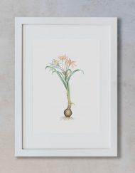 acuarela-botanica-donana-enmarcada-decoracion-marco-vertical-suelto-pancratium