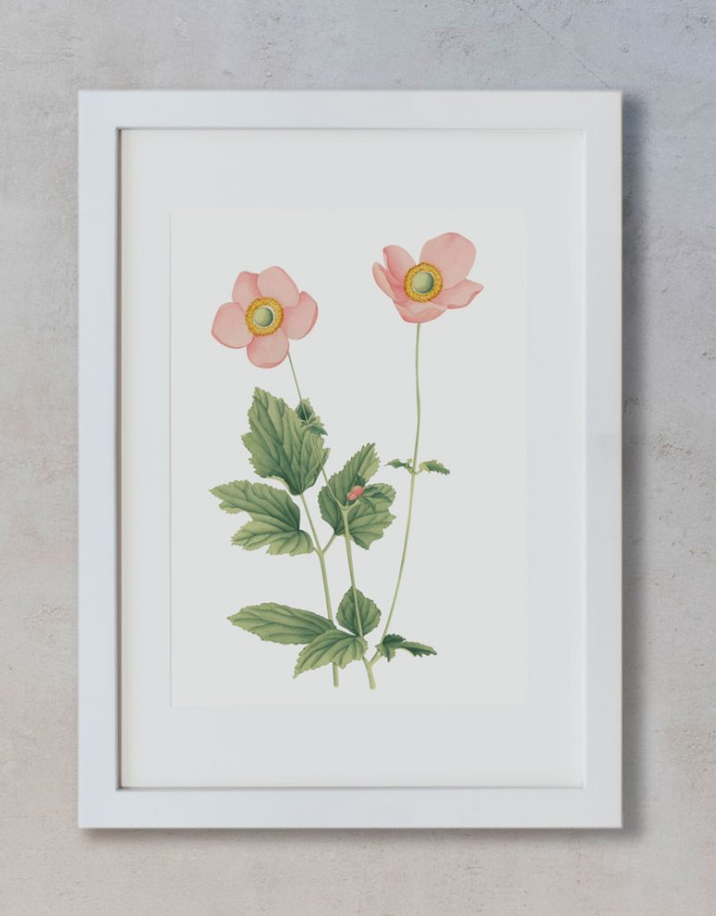 Ilustracion-acuarela-botanica-campestre-enmarcada-blanco2-Anemone-hupehensis