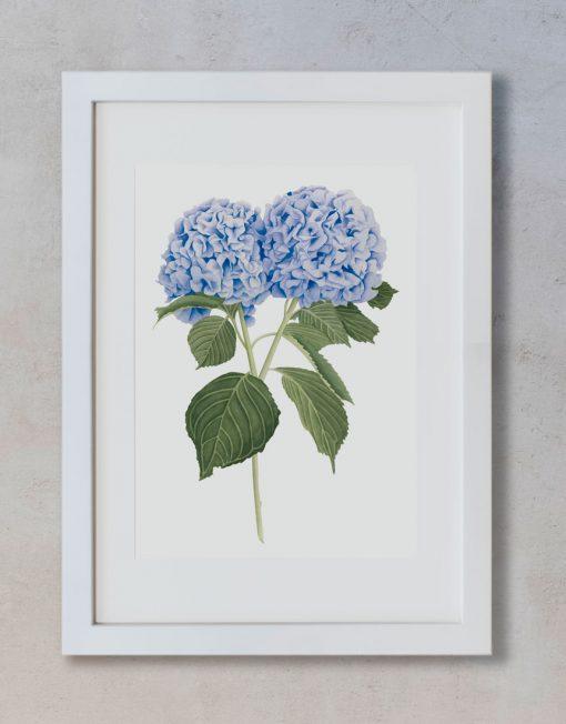 Ilustracion-hortensia-acuarela-botanica-campestre-enmarcada-blanco2-Hydrangea-azil
