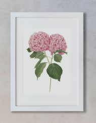 Ilustracion-hortensia-acuarela-botanica-campestre-enmarcada-blanco2-Hydrangea-rosa