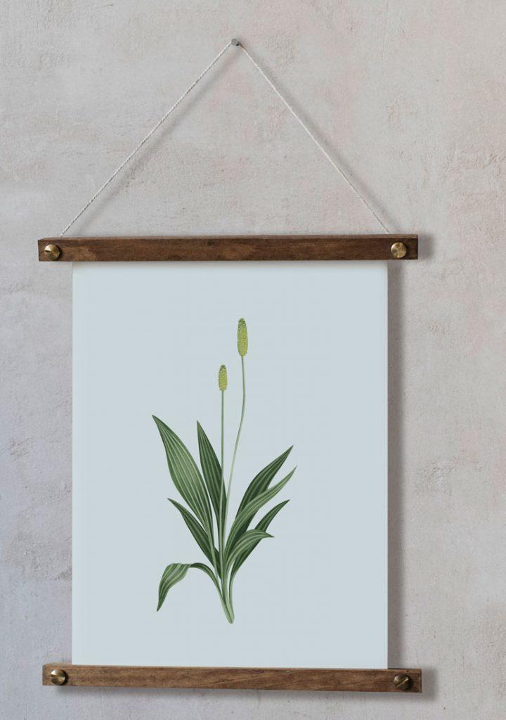 Ilustracion-llanten-mayor-acuarela-botanica-campestre-enmarcada-bastidor-Plantago-major