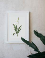 Ilustracion-llanten-mayor-acuarela-botanica-campestre-enmarcada-blanco-Plantago-major