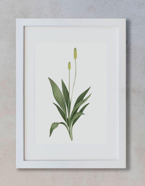 Ilustracion-llanten-mayor-acuarela-botanica-campestre-enmarcada-blanco2-Plantago-major