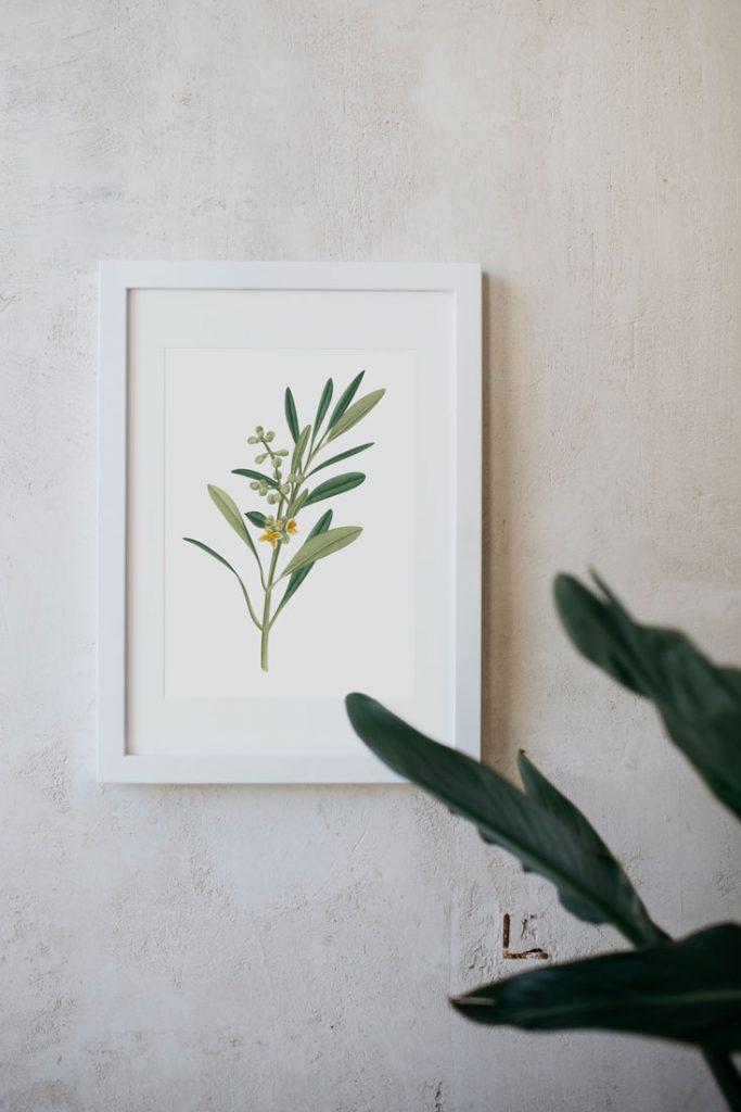 Ilustracion-olivo-acuarela-botanica-campestre-enmarcada-blanco-Olea-europaea-2