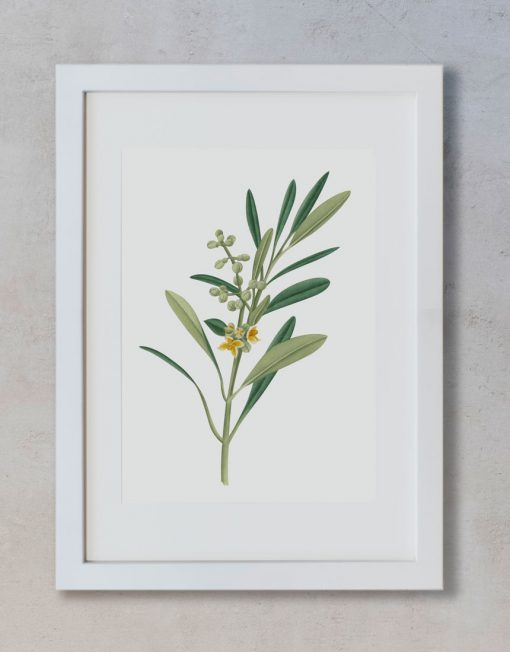 Ilustracion-olivo-acuarela-botanica-campestre-enmarcada-blanco2-Olea-europaea-2