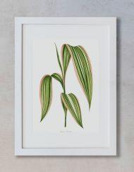 PLANTAS-ACUARELA-MOCKUP-PANICUM-PLICATUM-MARCO-BLANCO-VERTICAL-SUELTO