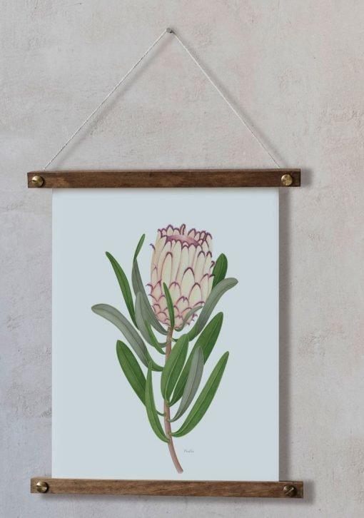 dibujos botanicos en acuarela de FLOR PROTEA bastidor