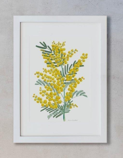 laminas botanicas acuarela MIMOSAS AMARILLAS