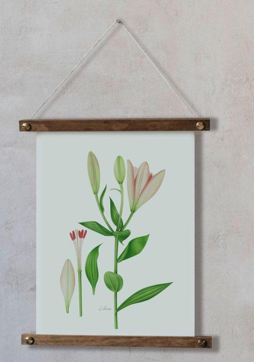 Lilium ilustración enmarcada