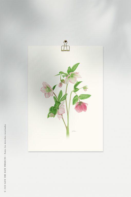 helleborus acuarela