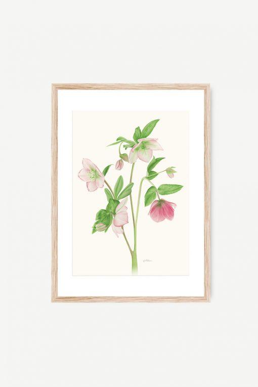 cuadro de flor acuarela helleborus